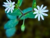 Star chickweed