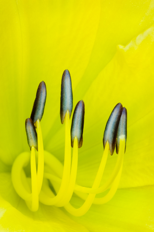 Yellow flag lily