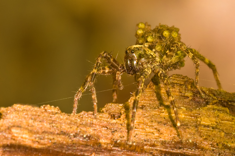 Female wolf spider with spiderlings