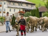 Alpine cattle drive