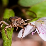 Ground crab spider featured