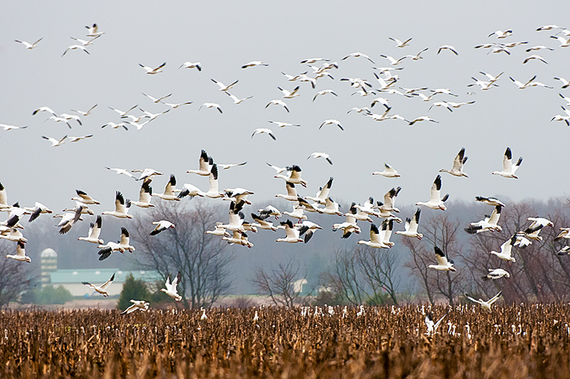 Oer the field snow geese at Bombay Hook photographed by David Muse