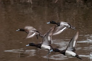 Ring-necked ducks